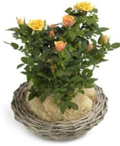 24.Φυτά γιά γραφείο