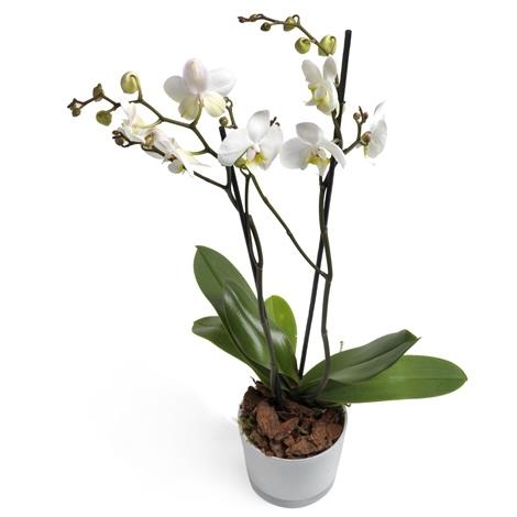 Φυτό Ορχιδέα φαλαίνοψις