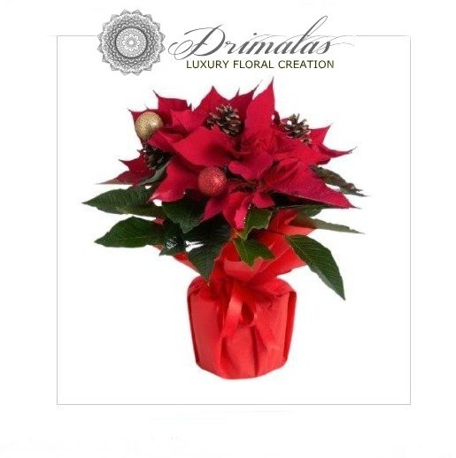 Αλεξανδρινό - λουλούδι των Χριστουγέννων - Poinsettia